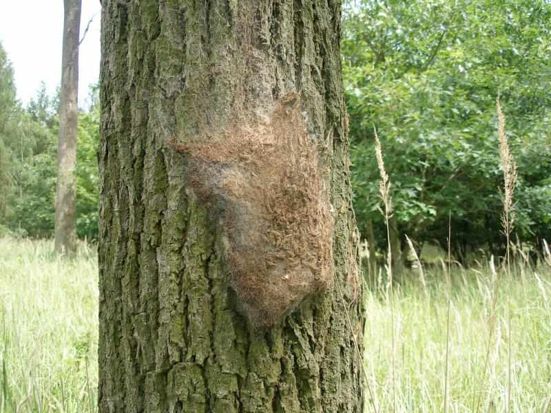 opm-nest-on-trunk-very-flattened.jpg